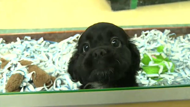 A puppy looks out at the new My Pet store in West Edmonton Mall. The store is owned by the former president of PJ's Pet Stores and is selling puppies, a practice the Edmonton Humane Society is warning the public about.
