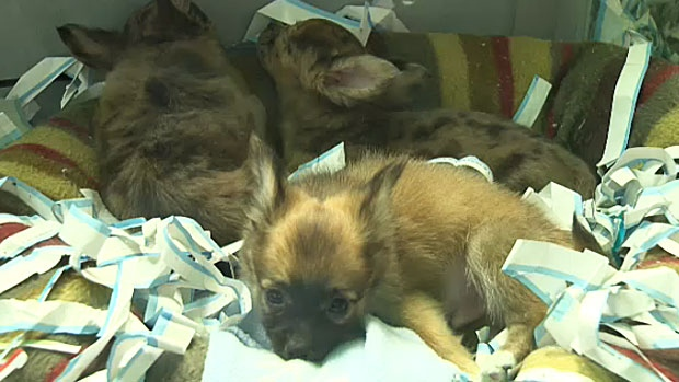 Edmonton Humane Society Small Dogs