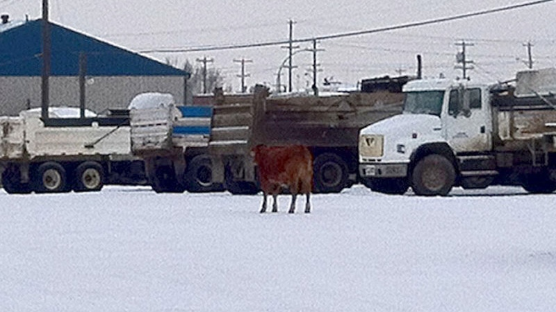 A cow and bull were on the loose in northeast Edmonton Wednesday morning. Police and animal control officers were able to corral the cow.