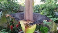 Putrella the Corpse Flower