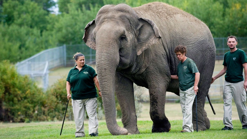 Lucy the elephant's handlers, who withheld their names, walk the aging elephant at Edmonton's River Valley Zoo on Sept. 17, 2009. (Ian Jackson / THE CANADIAN PRESS)