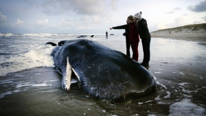 A beached sperm whale in Texel, Netherlands, Jan. 13, 2016. (REMKO DE WAAL / ANP / AFP)