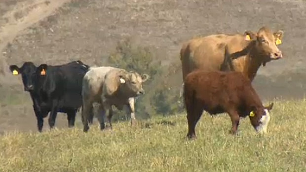 Earls Restaurants says that Alberta farmers cannot keep up with the chain's demand for certified humane beef, so it has turned to U.S. suppliers for their needs.