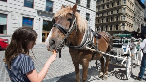 A girl gives a carrot to a horse in Old Montreal Wednesday, May 18, 2016 in Montreal. Montreal mayor Denis Coderre announced there will be a one-year moratorium on the carriages following recent accidents. (THE CANADIAN PRESS/Paul Chiasson)