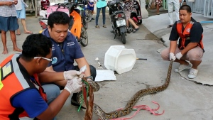 Rescue workers prepare to remove a python after they released it from a toilet outside a house in Chachoengsao, 90 kilometres east of the capital Bangkok on Wednesday, May 25, 2016. (BBTV CH7 Thailand)