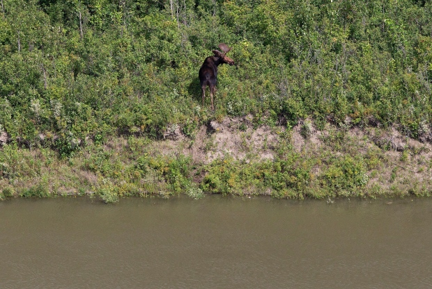 A moose looks over the North Saskatchewan river near Maidstone, Sask on Friday July 22, 2016. Husky Energy has said between 200,000 and 250,000 litres of crude oil and other material leaked into the river on Thursday from its pipeline. (THE CANADIAN PRESS / Jason Franson)