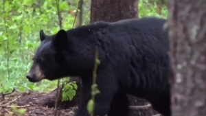 A still from video shows a black bear, before it was speared by a U.S. hunter - the video was posted on YouTube.