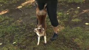 cinder-pup