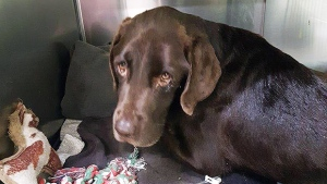 Seven-year-old chocolate lab, Bruno, is seen in this provided photo. (Western College of Veterinary Medicine)