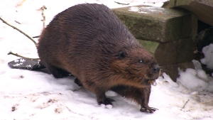 'Ward' the beaver is seen in this still image taken from video. (CTV)