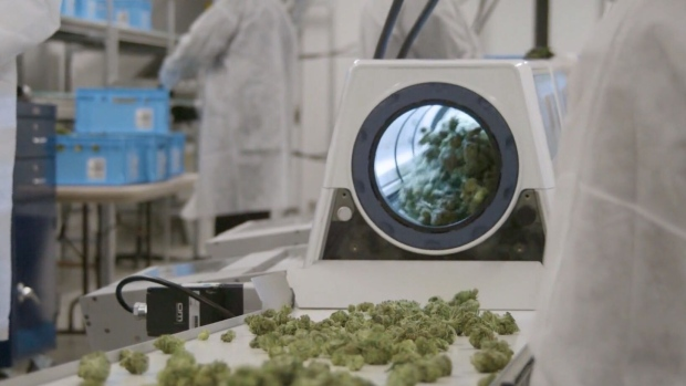medicinal cannabis in the lab