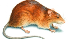 Norway Rat generic